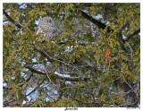 20150211 336 SERIES -  Barred Owl.jpg