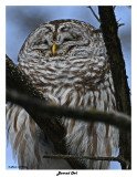 20150211 381 Barred Owl.jpg