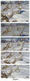 20150114 260 261 262 263 264 Snowy Owl 1r1.jpg