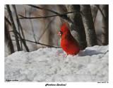20150131 105 Northern Cardinal.jpg