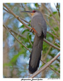 20150224 DR 341 Hispaniolan Lizard Cuckoo.jpg