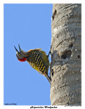 20150224 DR 084 Hispaniolan Woodpecker.jpg
