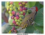 20150224 DR 040 Hispaniolan Woodpecker.jpg
