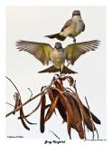 20150224 DR 295 Gray Kingbird.jpg
