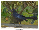 20150224 DR 172 Great-tailed Grackle.jpg