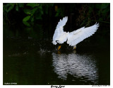 20150224 DR 1641 Snowy Egret4.jpg