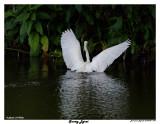 20150224 DR 1644 Snowy Egret 1r1.jpg