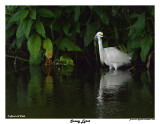 20150224 DR 1658 Snowy Egret.jpg