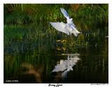 20150224 DR 1176 SERIES - Snowy Egret.jpg