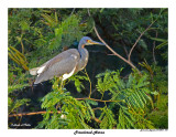 20150224 DR 1031 Tricolored Heron.jpg