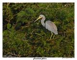 20150224 DR 1108 Tricolored Heron.jpg