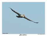 20150224 DR 069 Brown Pelican.jpg