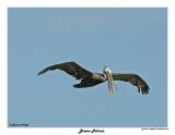 20150224 DR 094 Brown Pelican.jpg