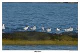 20150224 DR 053 Royal Terns.jpg