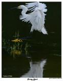 20150225 DR 258 Snowy Egret.jpg
