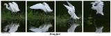 20150225 DR 258, 259, 260, 261 SERIES - Snowy Egret.jpg