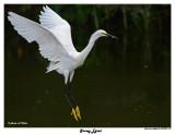 20150225 DR 027 Snowy Egret.jpg