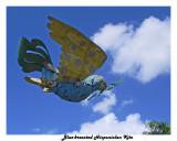 20150226 061Blue-breasted Hispaniolan Kite.jpg