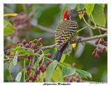 20150224 DR 1547 Hispaniolan Woodpecker.jpg