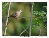 20150224 DR 1434 Common Ground Dove.jpg