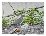 20150224 DR 601 White-winged Dove.jpg