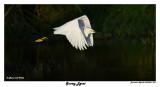 20150224 DR 1092 Snowy Egret2 1r2.jpg