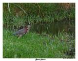 20150224 DR 1677 Green Heron.jpg