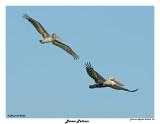 20150224 DR 074 Brown Pelican.jpg