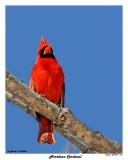 20150317 019 Northern Cardinal 1r2.jpg