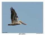 20150224 DR 105 Brown Pelican.jpg