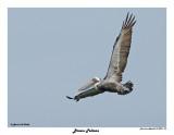 20150224 DR 124 Brown Pelican.jpg