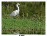 20150224 DR 1429 Snowy Egret.jpg