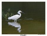 20150224 DR 1568 Snowy Egret.jpg