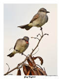 20150224 DR 301 Gray Kingbird.jpg