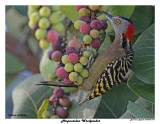 20150224 DR 041 Hispaniolan Woodpecker.jpg