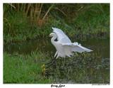 20150224 DR 1665 Snowy Egret.jpg