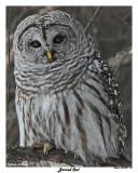20150320 150 Barred Owl 1r2.jpg
