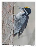 20150129 154 Black-backed Woodpecker.jpg
