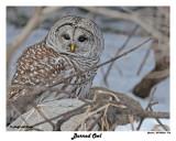 20150320 378 Barred Owl.jpg