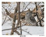 20150320 205 Barred Owl.jpg