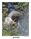 20150319 060 Barred Owl.jpg