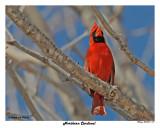 20150317 017 Northern Cardinal.jpg