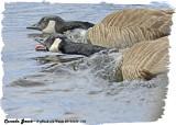 20130330 110 Canada Geese.jpg