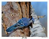 20141229 579 Blue Jay.jpg