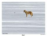 20150407 608 SERIES - Coyote.jpg
