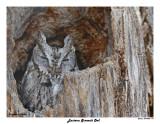 20150406 119 Eastern Screech Owl.jpg