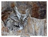 20150406 159 Eastern Screech Owl.jpg