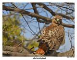20150411 444 Red-tailed Hawk.jpg