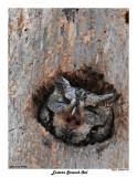 20150414 091 Eastern Screech Owl2.jpg