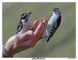 20150423 076 SERIES - Downy Woodpeckers.jpg